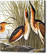 Audubon: Bittern Acrylic Print