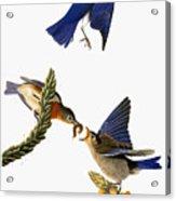 Audubon: Bluebird Acrylic Print