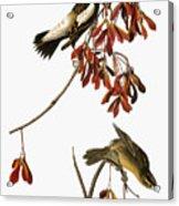 Audubon: Bobolink Acrylic Print