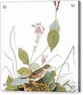 Audubon: Bunting Acrylic Print