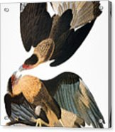 Audubon: Caracara, 1827-38 Acrylic Print
