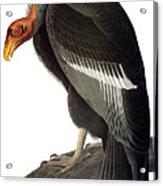 Audubon: Condor Acrylic Print