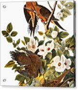 Audubon Dove Acrylic Print