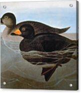 Audubon: Duck, 1827 Acrylic Print