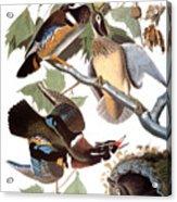 Audubon: Duck Acrylic Print
