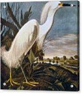 Audubon: Egret Acrylic Print