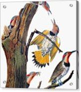 Audubon: Flicker Acrylic Print