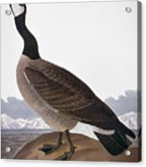 Audubon: Goose, 1827 Acrylic Print