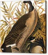 Audubon: Goose Acrylic Print