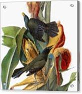 Audubon: Grackle Acrylic Print