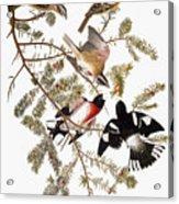 Audubon: Grosbeak Acrylic Print