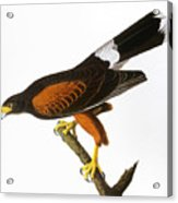 Audubon: Hawk, 1827 Acrylic Print