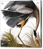 Audubon Heron Acrylic Print