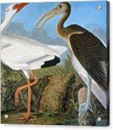 Audubon: Ibis Acrylic Print