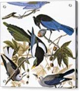Audubon: Jay And Magpie Acrylic Print