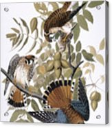 Audubon: Kestrel, 1827 Acrylic Print