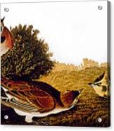 Audubon Lark Acrylic Print
