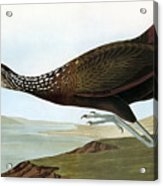 Audubon: Limpkin Acrylic Print