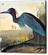 Audubon: Little Blue Heron Acrylic Print by Granger