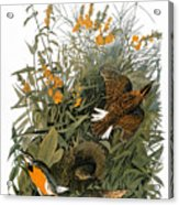 Audubon: Meadowlark Acrylic Print