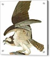Audubon: Osprey Acrylic Print
