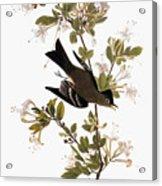 Audubon: Pewee, 1827-38 Acrylic Print