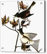 Audubon: Phoebe Acrylic Print