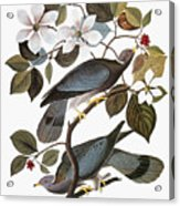 Audubon: Pigeon Acrylic Print