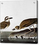 Audubon: Plover, 1827-38 Acrylic Print