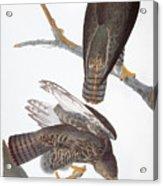 Audubon: Red-tailed Hawk Acrylic Print