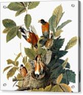 Audubon: Robin Acrylic Print