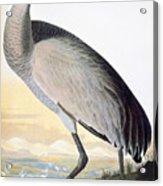 Audubon Sandhill Crane Acrylic Print
