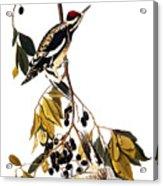 Audubon Sapsucker, 1827-38 Acrylic Print
