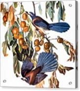 Audubon: Scrub Jay, 1827-38 Acrylic Print