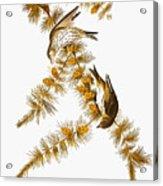 Audubon: Siskin Acrylic Print