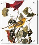 Audubon: Tanager Acrylic Print