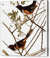 Audubon: Towhee Acrylic Print
