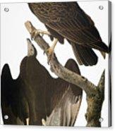 Audubon: Turkey Vulture Acrylic Print