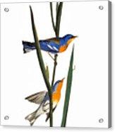 Audubon: Warbler, 1827 Acrylic Print