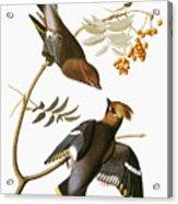 Audubon: Waxwing Acrylic Print