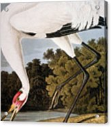Audubon: Whooping Crane Acrylic Print
