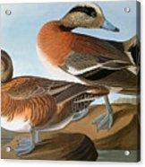 Audubon: Wigeon, 1827-38 Acrylic Print