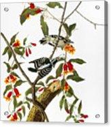 Audubon: Woodpecker, 1827 Acrylic Print