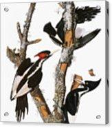 Audubon: Woodpecker Acrylic Print