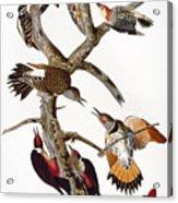 Audubon: Woodpeckers Acrylic Print