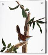 Audubon: Wren, (1827-38) Acrylic Print by Granger