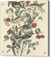 Audubon's Warbler Acrylic Print