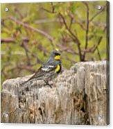 Audubon's Yellow Rumped Warbler Acrylic Print