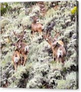 August Bucks Acrylic Print