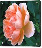 August Rose 09 Acrylic Print